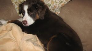 gypsy as a puppy sleepy